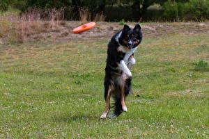 Tapety na pulpit Pies domowy Border collie Skok Trawa Wzrok zwierzę