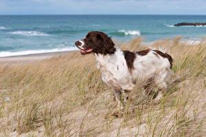 Fotos Hund Küste Spaniel Gras cocker spaniel