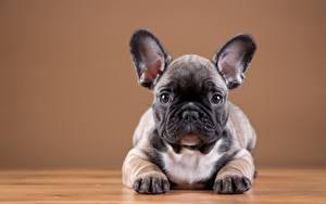 Fotos Hund Französische Bulldogge Welpe Pfote