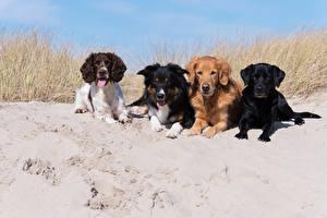 Bilder Hunde Sand Spaniel Retriever Labrador Retriever ein Tier