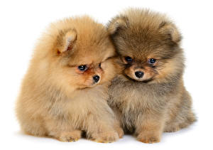 Pictures Dogs White background 2 Puppy Spitz animal