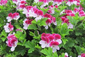 Photo Geranium Closeup Flowers