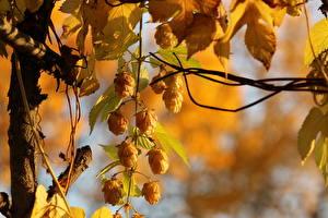 Wallpaper Hops Closeup Golden Hops Nature