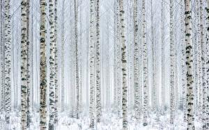 Fotos Viel Birken Bäume Baumstamm Schnee