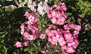Hintergrundbilder Phlox Großansicht Rosa Farbe