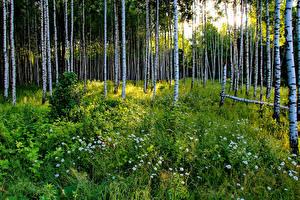 Fotos Russland Wälder Kamillen Birken Gras Natur
