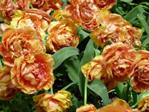 Desktop hintergrundbilder Tulpen Hautnah Blumen