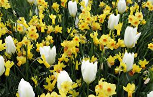 Hintergrundbilder Tulpen Narzissen Großansicht Blumen