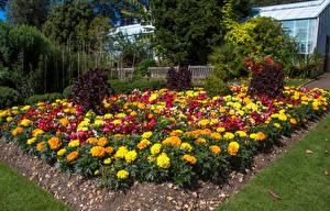 Images United Kingdom Gardens Tagetes Wales Swansea Botanic Gardens Nature