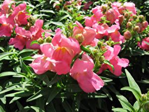 Fotos Löwenmäuler Großansicht Rosa Farbe