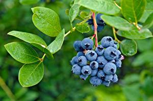 Pictures Blueberries Closeup Leaf Branches Food