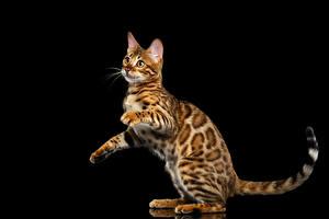 Bilder Katzen Bengalkatze Schwarzer Hintergrund Blick Gold