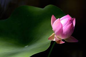 Hintergrundbilder Hautnah Lotosblume Rosa Farbe Blütenknospe Blüte
