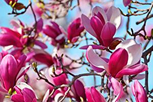 Photo Closeup Magnolia Branches Flowers