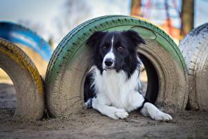 Tapety na pulpit Psy domowe Border collie Opona pneumatyczna Spojrzenie zwierzę