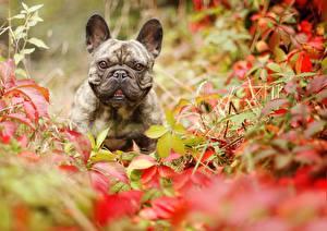 Fotos Hund Französische Bulldogge