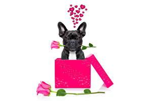 Bilder Hunde Französische Bulldogge Rose Schachtel Weißer hintergrund