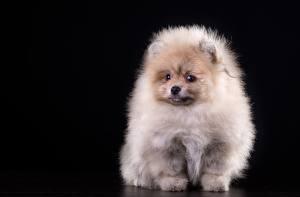 Hintergrundbilder Hunde Spitz Weiß Flaumig Schwarzer Hintergrund Tiere