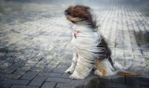 Fotos Hund Wind Chinese Crested Sitzt Tiere