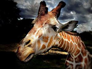 Bilder Giraffe Großansicht Nase Kopf Schnauze Tiere