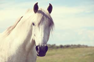 Wallpaper Horse Head White animal