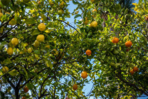 Pictures Lemons Mandarine Branches Foliage Food