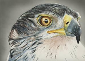 Fotos Gezeichnet Vogel Habicht Kopf Schnabel Tiere