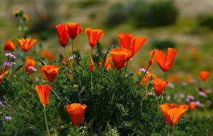 Hintergrundbilder Mohn Rot Blumen