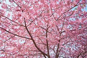 Hintergrundbilder Japanische Kirschblüte Ast Natur