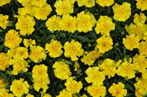 Image Tagetes Closeup Yellow flower