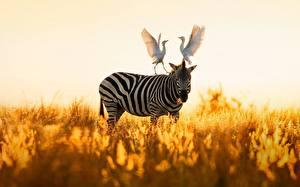 Fotos Zebra Reiher Cattle egret
