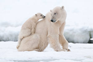 Pictures Bears Polar bears Cubs Two Animals