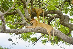 Hintergrundbilder Große Katze Löwe Löwin Ast Zwei Tiere