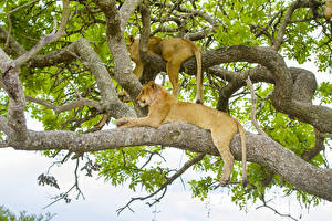 Images Big cats Lion Lioness Branches Two Animals