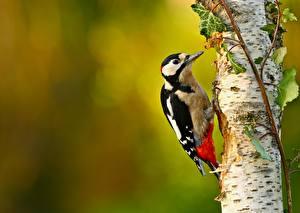 Hintergrundbilder Vogel Spechte Baumstamm Birken Dendrocopos ein Tier