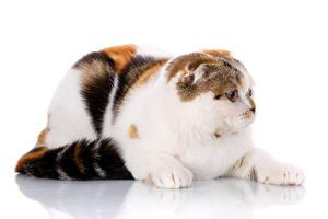 Bilder Hauskatze Hautnah Schottische Faltohrkatze Weißer hintergrund Tiere