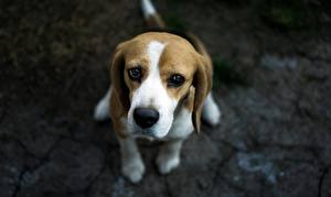 Pictures Dogs Beagle Staring Gloomy animal