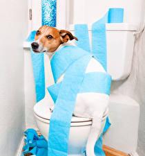 Hintergrundbilder Hunde Jack Russell Terrier Toilette Papier Lustige Tiere