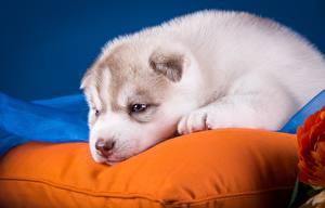 Papel de Parede Desktop Cão Filhote de cachorro Husky siberiano Travesseiro animalia