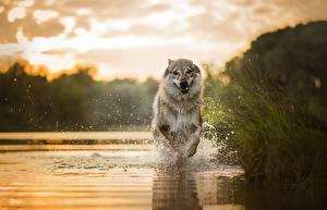 Bilder Hunde Wasser Laufsport Spritzer Tiere