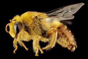 Hintergrundbilder Insekten Bienen Makro Großansicht Schwarzer Hintergrund Tiere