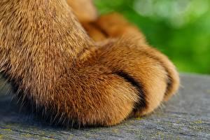 Fotos Makrofotografie Großansicht Hauskatze Pfote Tiere