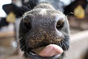 Hintergrundbilder Makrofotografie Großansicht Kühe Nase Zunge ein Tier