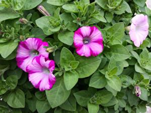 Fotos Petunien Großansicht Blattwerk Blumen