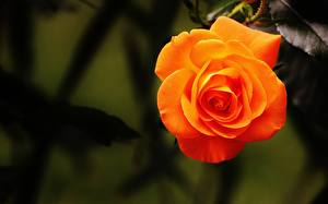 Image Roses Orange Flowers