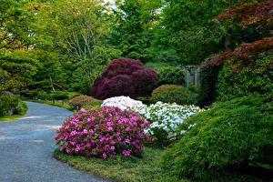 Bilder Vereinigte Staaten Seattle Park Rhododendren Strauch Seattle Japanese Garden Natur