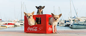 Photo Coca-Cola Chihuahua Three 3 animal
