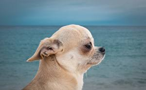 Images Dog Chihuahua Head Staring Animals