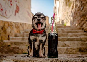 Image Dogs Coca-Cola Chihuahua Tongue Yawn Funny Bottle Stairway animal