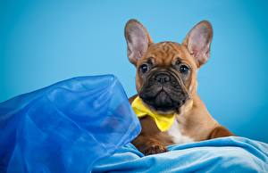 Picture Dog French Bulldog Staring